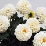 Dahlia Delicious Marshmallow