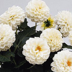 Dahlia-Delicious-Marshmallow