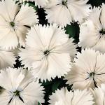 Dianthus Floral Lace White