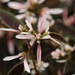 Euphorbia Breathless Blush