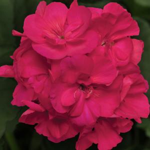 Geranium-Zonal-Sunrise_XL-Purple-Rose