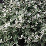 Helichrysum White Licorice