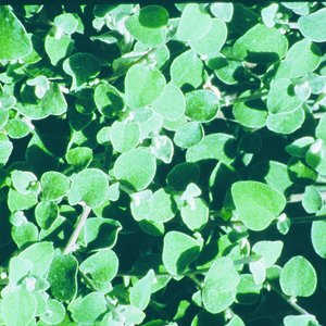 Helichrysum-White