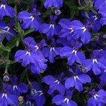Lobelia Early Springs Dark Blue