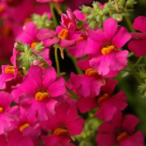 Nemesia-nessie-plus-purple-pink