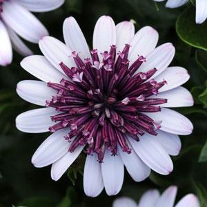 Osteospermum 4D Berry White