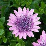 Osteospermum 4D Pink