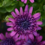 Osteospermum 4D Purple