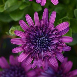 Osteospermum-4D-Purple