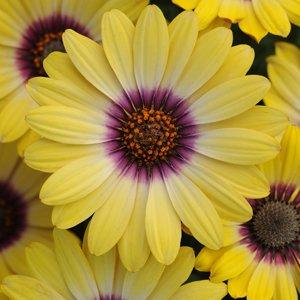 Osteospermum-Blue-Eyed-Beauty
