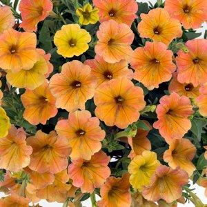 Petunia-Cascadias-Indian-Summer