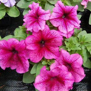 Petunia-Limbo-Red-Veined-1