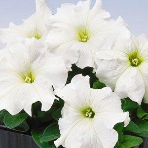 Petunia-Limbo-White