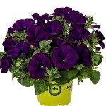 Petunia Potunia Plus Cobalt Blue
