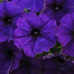 Petunia Sun Spun Blue