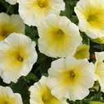 Petunia Sun Spun Yellow