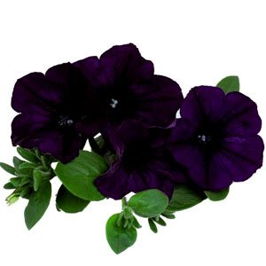 Petunia-Surprise-Blue