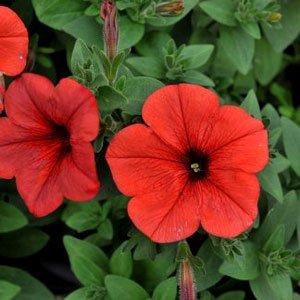 Petunia-Sweetunia-Orange-Flash