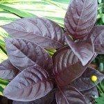 Pseuderanthemum Black Varnish