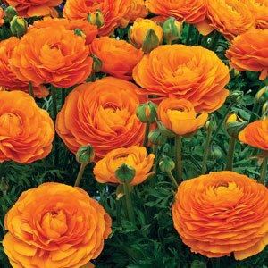 Ranunculus-Mache-Orange