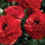 Ranunculus Mache Red