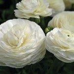 Ranunculus Mache White