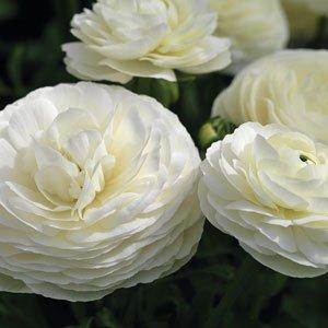Ranunculus-Mache-White
