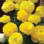 Ranunculus Mache Yellow