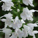 Salvia Summer Jewell White