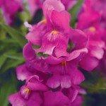 Snapdragon Snapshot Purple