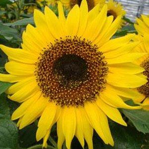 Sunflower-Choco-Sun