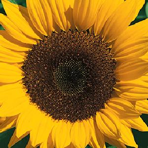 Sunflower-Classic