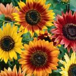 Sunflower Evening Color Blend