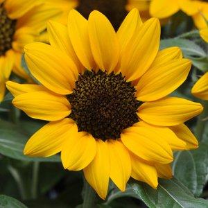Sunflower-Miss-Sunshine