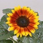 Sunflower Sunsation Flame