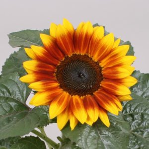 Sunflower-Sunsation-Flame