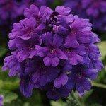 Verbena Endurascape Dark Purple