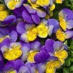 Viola Anytime Iris