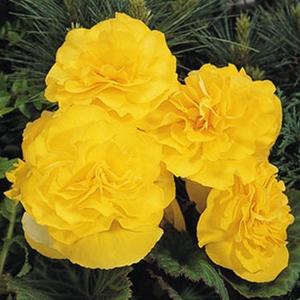 begonia-nonstop-yellow