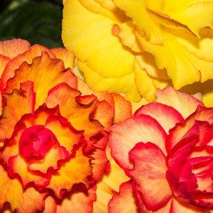 Begonia-ontop-sunset