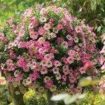 Calibrachoa - Chemeleon Pink Passion
