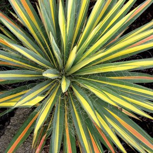 Yucca-Color-Guard