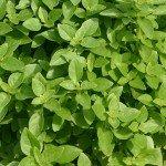 Basil Fino Verde