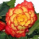 Begonia - Ontop Sunglow